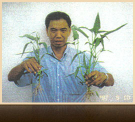 Tests with TERRALYT PLUS an Thai Chili, year 1995 in Thailand